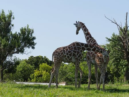 Wide shot of two giraffes stainding in a grassy area
