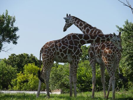 Medium close up shot of two giraffes standing in a grassy area