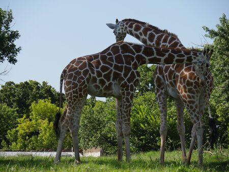 Close up shot of two giraffes standing in a grassy area Фото со стока