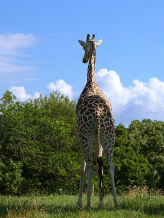 Portrait view, backside of a giraffe standing facing the trees