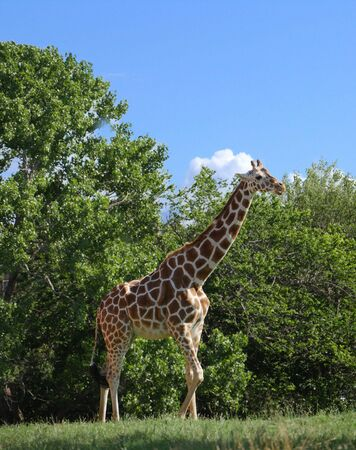 Side view of a giraffe standing close to the trees
