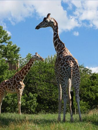 Two giraffes standing on a grassy area