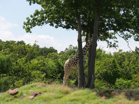 Wide shot of a giraffe standing with its head partially covered by trees