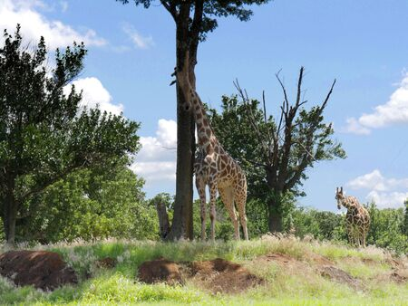 Wide shot of giraffes standing among the trees in an open space Фото со стока