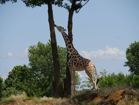 Medium wide shot of a giraffe standing and munching on the trunk of a high tree
