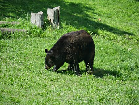 Medium close up, side view of a black bear walking and sniffing on the green grass Imagens