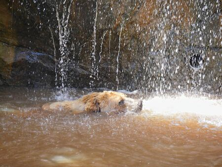 Side view of a grizzly bear taking a shower under a fountain falling from the rocks