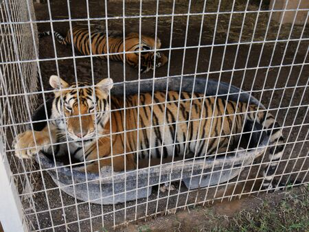 Tigers inside a cage, with one soaking in a tub