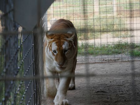 Restless tiger pacing inside a cage