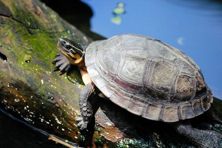 Turtle sunning on a piece of log over the water in a pond