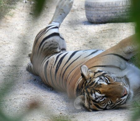 Zoomed shot of a tiger lying on the ground
