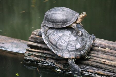 Two turtles on a piece of log at a pond