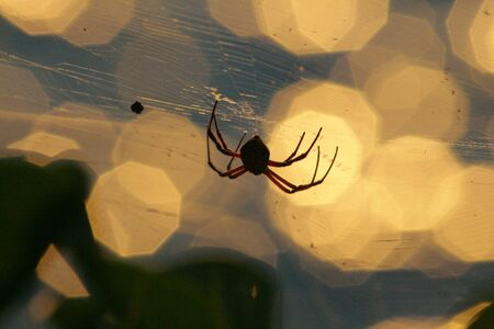 Silhouette of a spider hanging upsidedown from a web, bokeh in the background