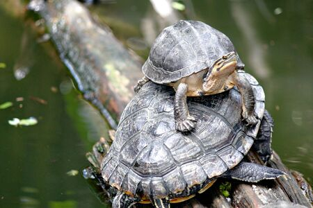 Two turtles sunning on a piece of wood jutting out over the water in a pond Stock fotó