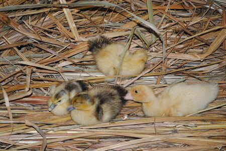 Fluffly yellow ducklings on dried straw Stock fotó