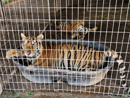 Two tigers inside a cage, with one soaking in a tub