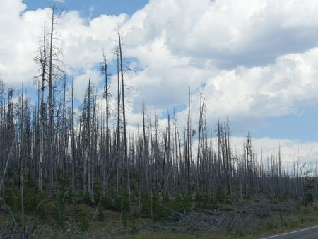 Young trees growing in a previously burned area at Yellowstone National Park.