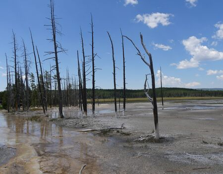 Medium wide view of leafless trees at the Lower Geyser Basin, with clear skies at Yellowstone National Park, Wyoming.