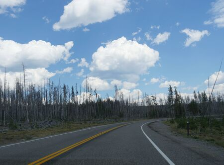 Cotton wads of clouds in the skies over a winding road with young aspen trees at Yellowstone National Park.