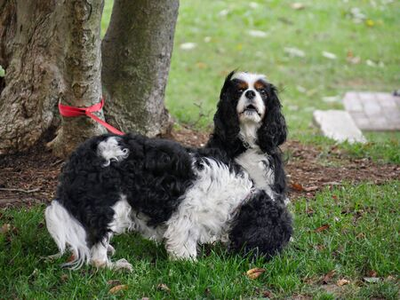 Two black and white poodles tied with red leash  to a tree outdoors Stock Photo