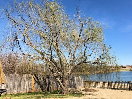 Willow tree by a wooden fence and pond in winter