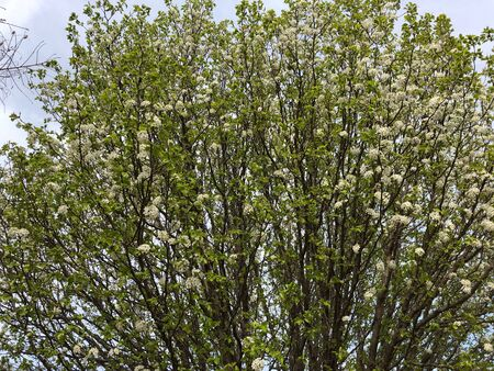 Cropped shot of trees filled with white blooms and buds