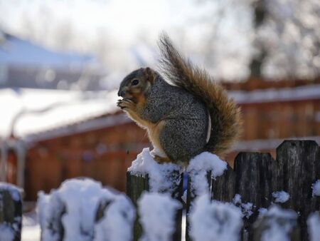 A squirrel sits eating on a snow-covered wooden fence on a winter morning