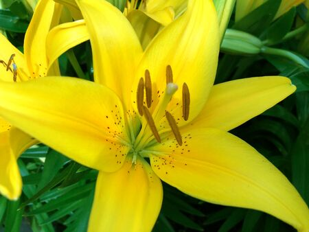 Close up of a yellow Asiatic lily flower