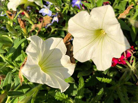 Medium close up shot of two white hybrid petunia flowers in a garden Banco de Imagens