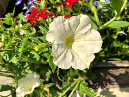 Medium close up of a white hybrid petunia flower in a garden