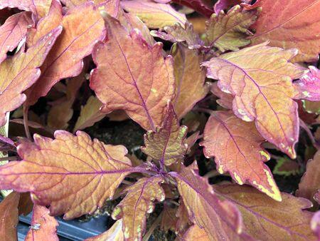 Brown and pink sun coleus plants in big pots