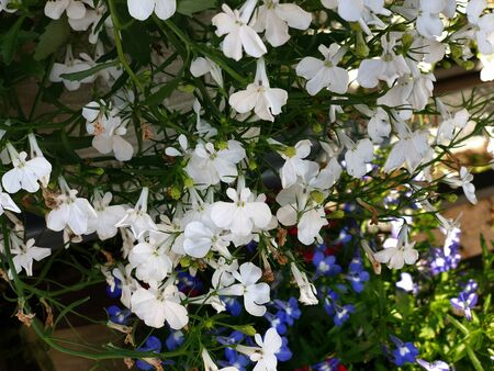 Clusters of white, blue and lavender flowers in pots