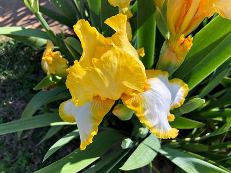 Close up, cropped shot of yellow and white Asiatic lily flowers Banco de Imagens