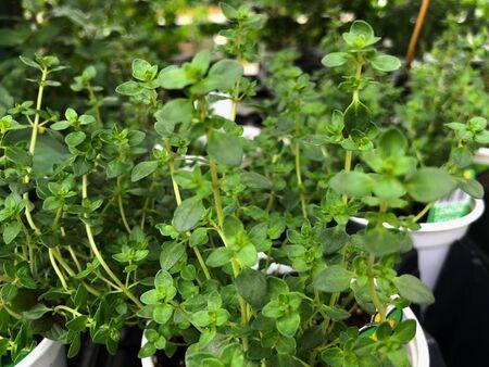 Fresh green German thyme plants in white pots