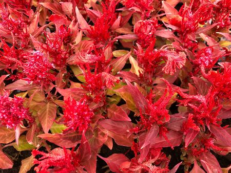 Close up cropped shot of fiery red celosia flowers at a park