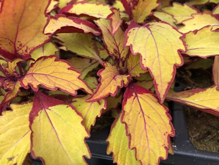 Close up of yellow and red sun coleus leaves in big pots