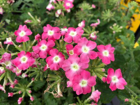 Medium wide shot of brilliant pink flowers in a garden