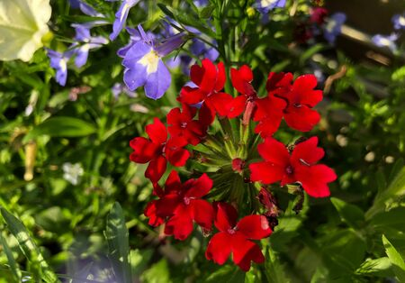 Brilliant red and purple flowers in a garden  Stock Photo