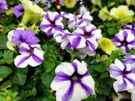 White and violet begonia flowers at a park