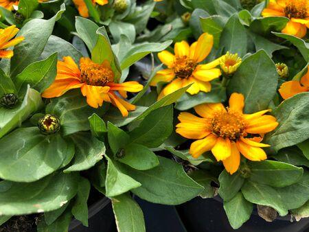 Wide shot of Blooming yellow zahara zinnia flowers in a garden Banco de Imagens
