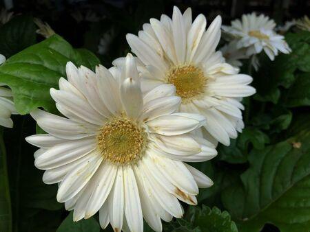 Close up of white gerbera daisies in a garden, dark background Banco de Imagens