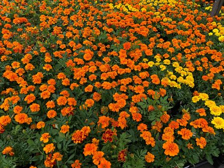 Wide shot of orange and yellow marigolds at a park Banco de Imagens