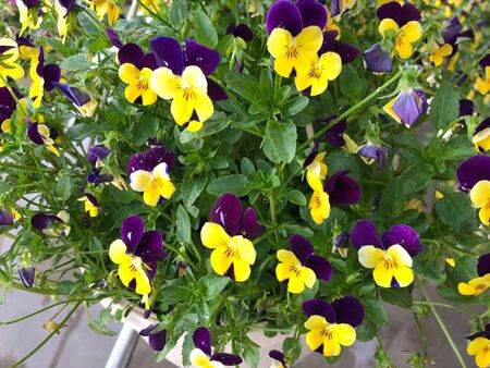 Clusters of yellow and violet flowers in pots at a park