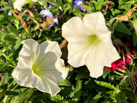 Close up of a two white hybrid petunia flowers in a garden