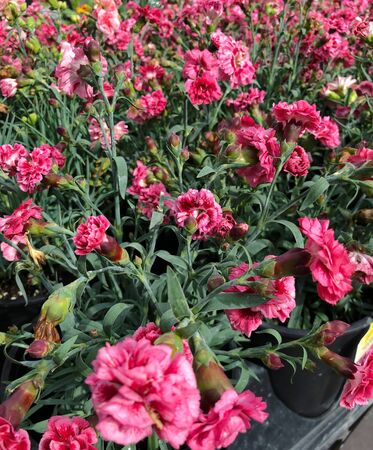 Cropped shot of bright pink flowers in black pots in a greenhouse  Banco de Imagens