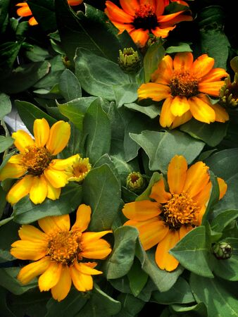 Blooming yellow zahara zinnia flowers in a garden