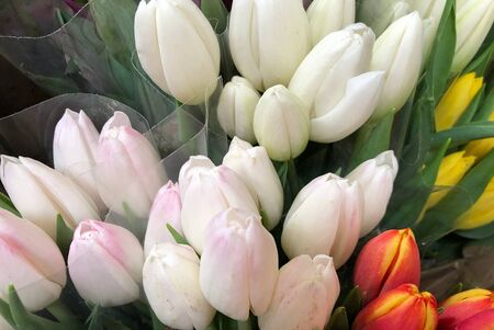 Close up of white tulips in bouquets, with red and yellow tulips on the side
