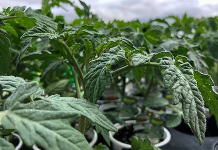 Close, side view shot of hybrid tomato leaves