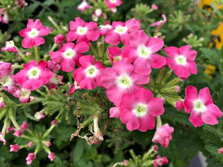 Brilliant pink flowers in a garden