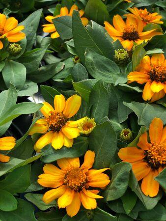 Medium wide shot of Blooming yellow zahara zinnia flowers in a garden